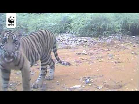 Rare Tigers Activate Infrared Cameras