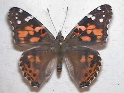 Painted Lady Butterflies Develop, Emerge in Time Lapse