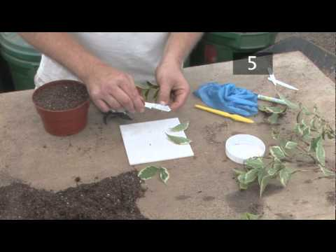 How To Propagate Semi Ripe Stem Cuttings