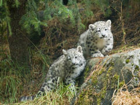 Snow Leopard KITTENS!