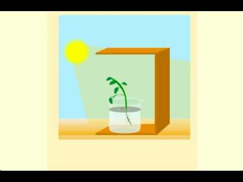 Phototropism - CBSE Class X Science Chapter 6 - Life Processes Tutorials Online