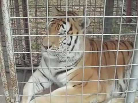 4 TIGERS RESCUED! - Big Cat TV