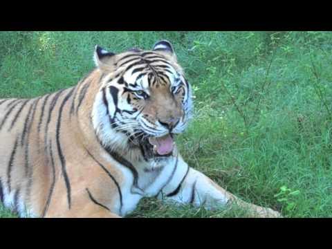 TIGER FAIL!! Vegetarian Tiger??