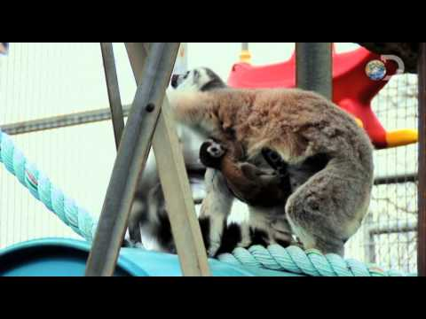 Dirty Jobs - Lemur Alone | Exotic Nanny