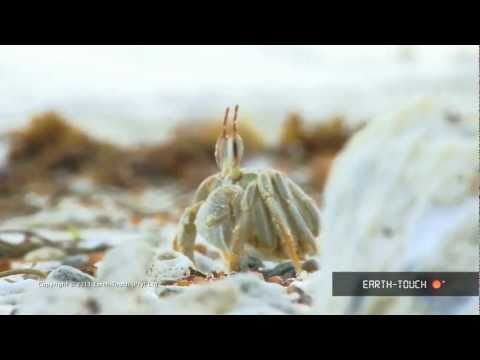 Strange & funny crabs feed on the beach