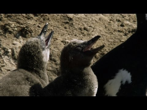 Untamed Americas - Desert Penguins