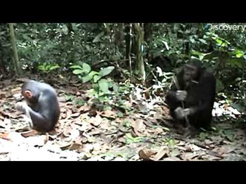 Chimps Invent Brush Tool