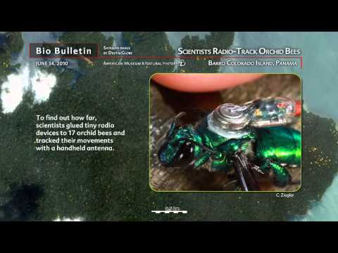 Science Bulletins: Scientists Radio-Track Orchid Bees
