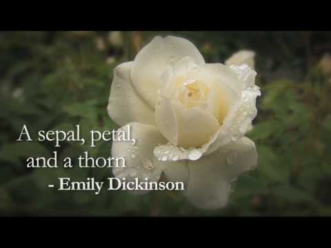 A sepal, petal and a thorn by Emily Dickinson