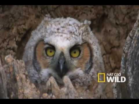 Regurgitating Owl
