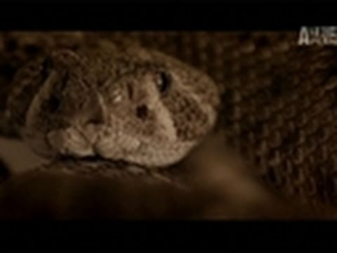 Fatal Attractions- Gaboon Viper Kills Its Owner
