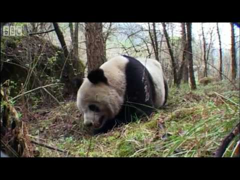 Never Before Seen - Panda Bear Handstand - Bears - BBC Earth