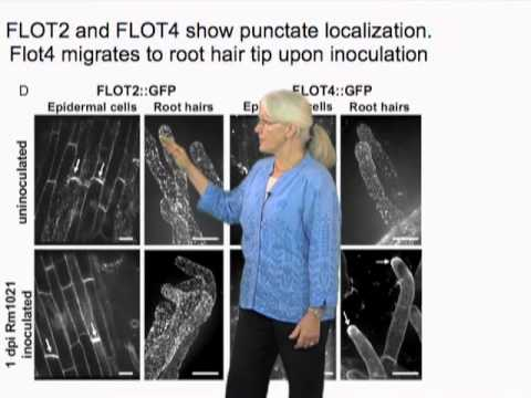 Sharon Long (Stanford) Part 3: Plant genes and cell response in nitrogen-fixing symbiosis