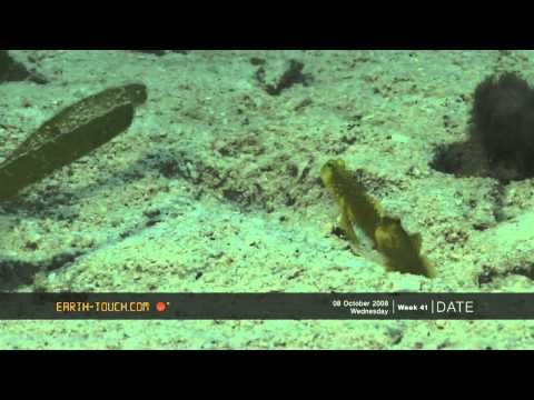 Funny goby fish shares its home with a shrimp