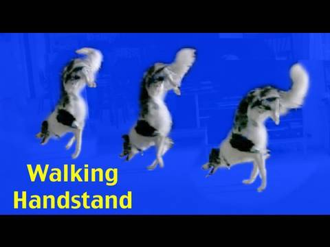 Walking Handstand- amazing funny dog training trick