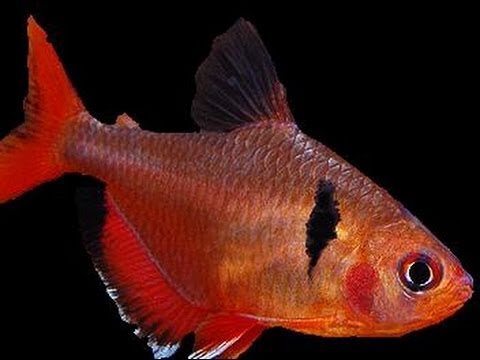 Red Minor Serpae Tetra (How to Care Guide)