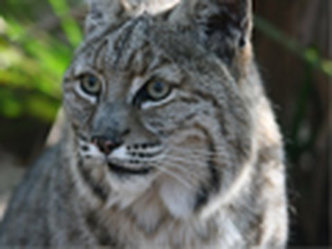 BOBCAT HIT BY CAR! - Big Cat TV
