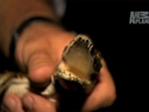 River Monsters: Baby Crocodile Calls Mom