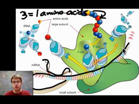 Unit 5 Review - Genetics