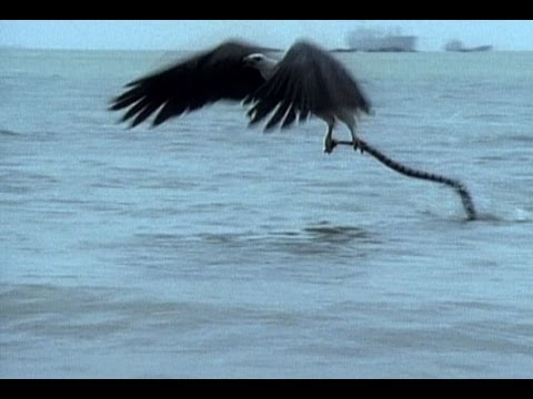 Eagle vs. Sea Snake