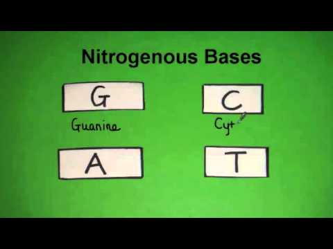 3.3.2 State the four bases in DNA