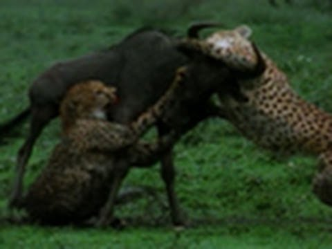 Two Cheetahs vs. Wildebeest