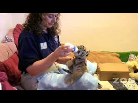 Cute Baby Tiger Cub Week 3