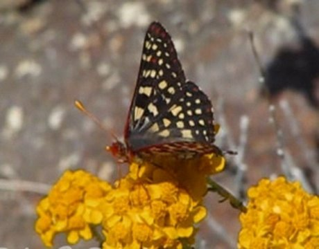 720p HD California Butterflies in the Field 2008