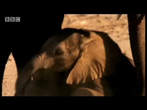 Desert elephant survival - Dune - BBC animals