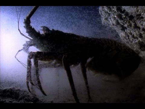 Bizarre Birth: Baby Lobsters