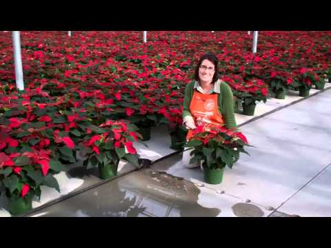 Poinsettias - The Home Depot