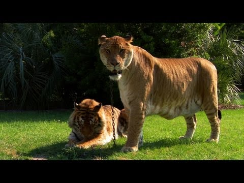 World's Weirdest - Lions, Tigers and Ligers!
