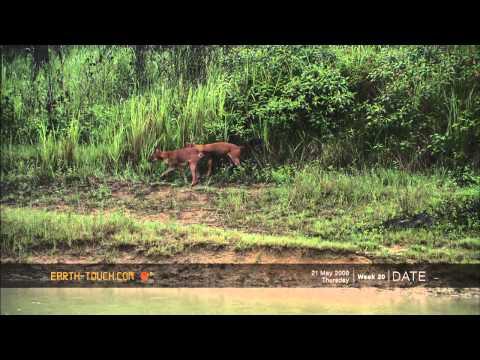 Endangered wildlife: Asia's wild dogs