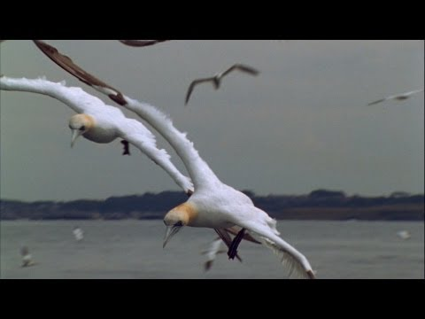 "World's Weirdest - ""Missile"" Birds"