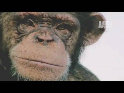 Fatal Attractions: Chimp Attack