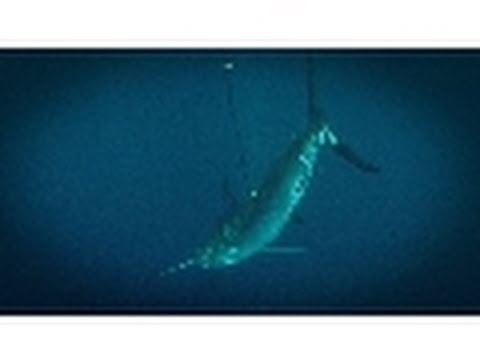 Snagging a Marlin