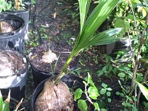 Showing Coconut Sprouts - Baby Coconut Trees