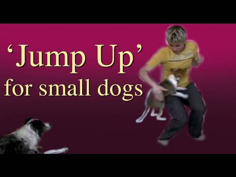 Teach 'jump up' to a little dog- clicker training