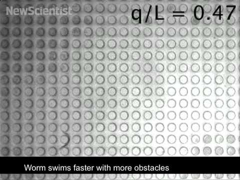 Obstacles help worm speed through maze