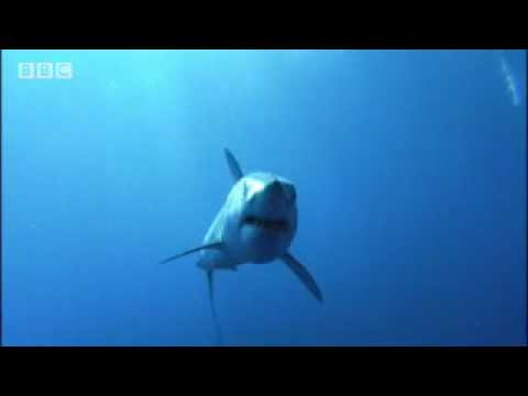 Ragged tooth shark babies learn the rules of the ocean - BBC wildlife