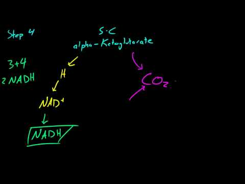 Biology Lecture - 37 - More on the Krebs Cycle