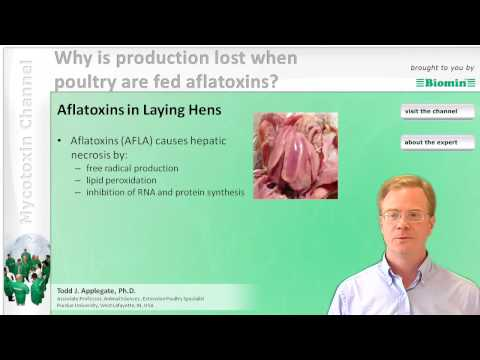 Why is production lost when poultry are fed aflatoxins?