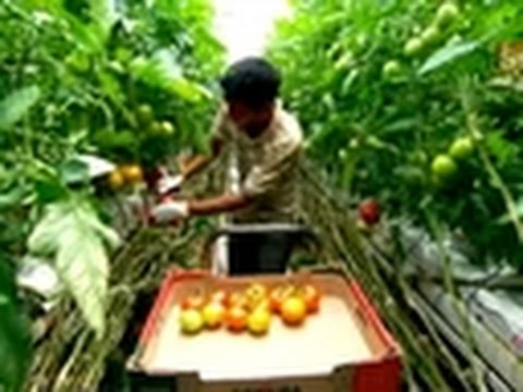 How It's Made- Green House Tomatoes