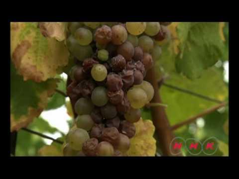 Tokaj Wine Region Historic Cultural Landscape (UNESCO/NHK)