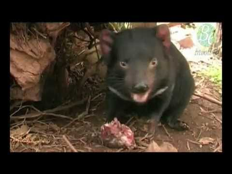 Bookend Trust - Tasmanian Devil preview