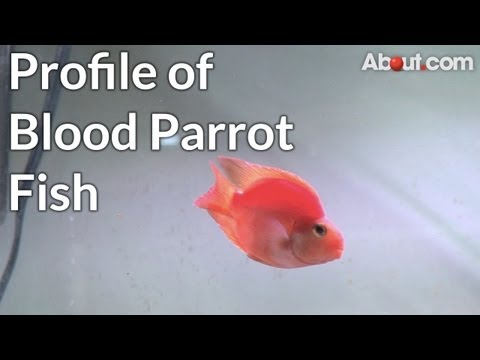 Profile of Blood Parrot Fish