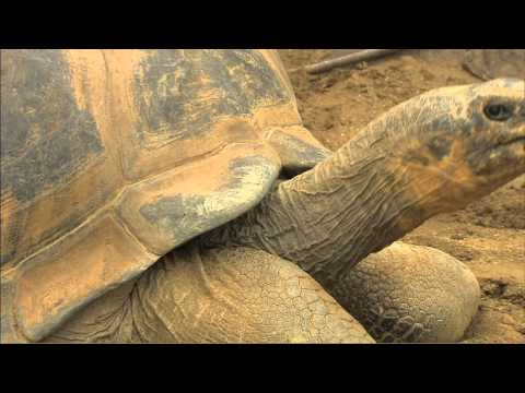 Our Galapagos Tortoises