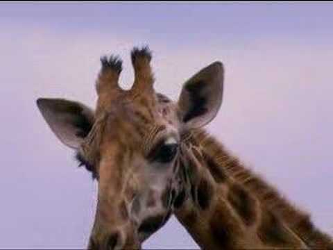 Nature activist Joanna Lumley gets a giraffe kiss as she works in African animal conservation   - BBC wildlife