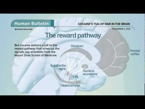 Science Bulletins: Cocaine's Tug-of-War in the Brain