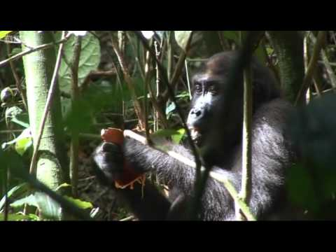 Gorillas picking bamboo fruit - BBC